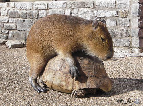 capybara-2